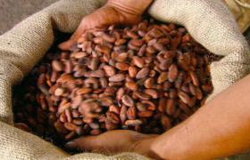 Geheugenverbetering bij ouderen door antioxidant uit cacao