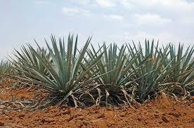 Tequila Süßstoff bei Diabetes
