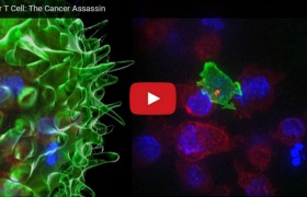 Video: deadly immune cells in action